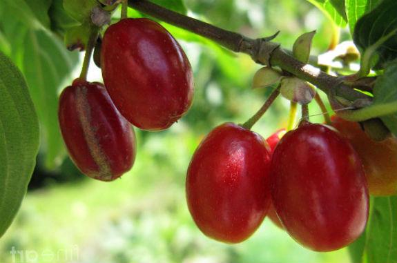 Кизил выращивание в средней полосе 559