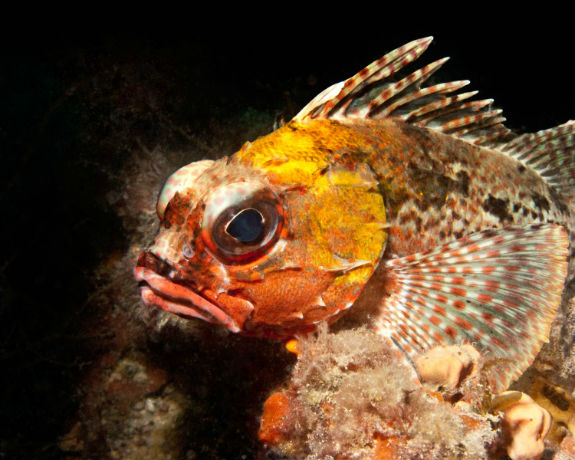 морской петух фото